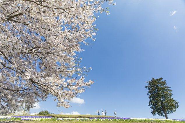 桜ウィーク