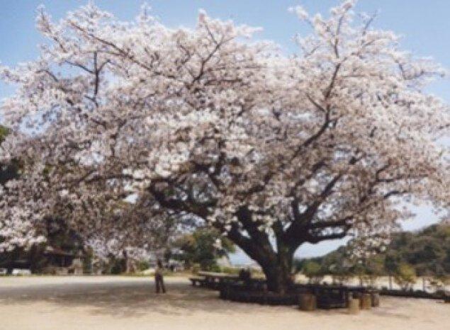 【桜・見ごろ】衣干山さくら公園