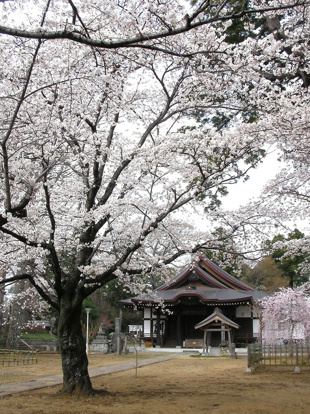 弘経寺の桜