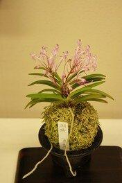 富貴蘭と古典園芸植物展