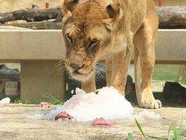 ライオン、ホワイトタイガーの氷イベント