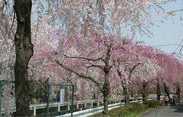 砂川堀のしだれ桜