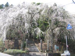 【桜・見ごろ】小松寺のしだれ桜