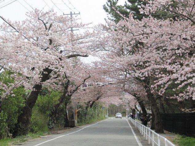 【桜・見ごろ】高清水公園