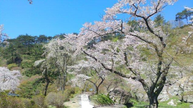 きみまち阪桜まつり<中止となりました>