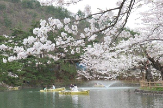 【桜・見ごろ】真人公園