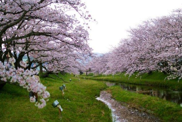 【桜・見ごろ】花吹雪温泉まつり