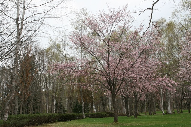 ふうれん望湖台自然公園の桜