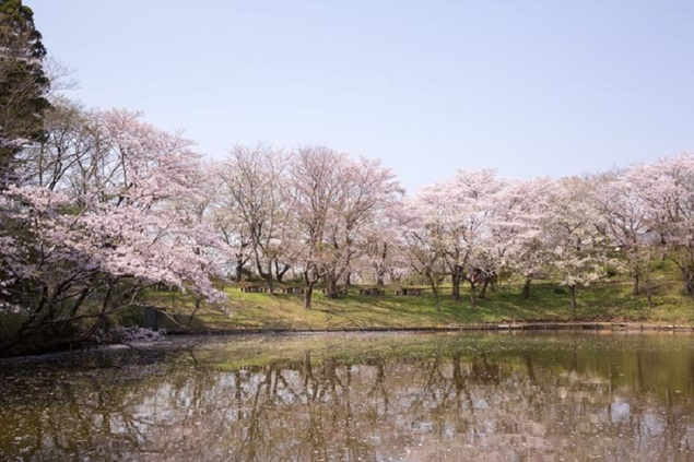 水海道あすなろの里の桜