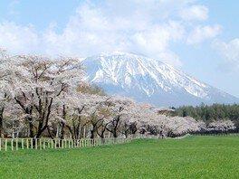 【臨時休園】小岩井農場の桜