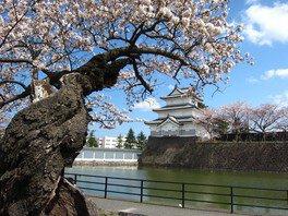 新発田城址公園の桜