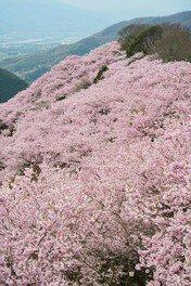 八百萬神之御殿の桜
