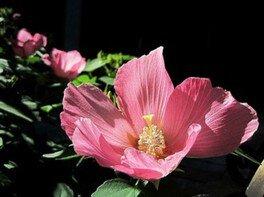【花・見ごろ】舎那院 芙蓉