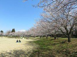 さんぶの森公園の桜