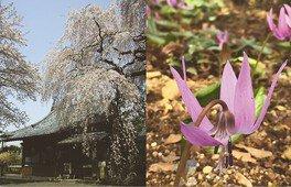 金仙寺(こんせんじ)のしだれ桜