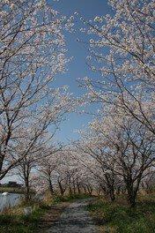 【臨時休園】吉野公園の桜