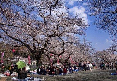 船越南郷公園の桜