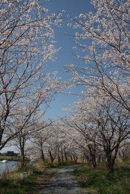 吉野公園の桜