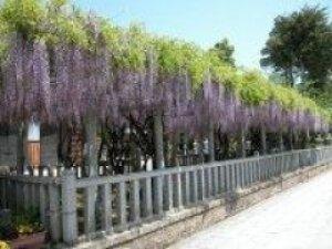 八幡神社 藤まつり