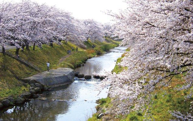 【桜・見ごろ】藤田川ふれあい桜
