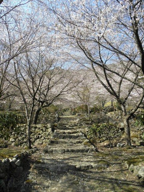 【桜・見ごろ】波瀬泰運寺