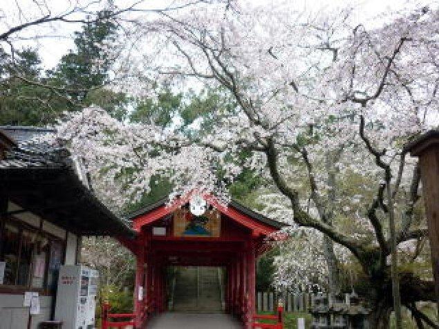 【桜・見ごろ】御調八幡宮