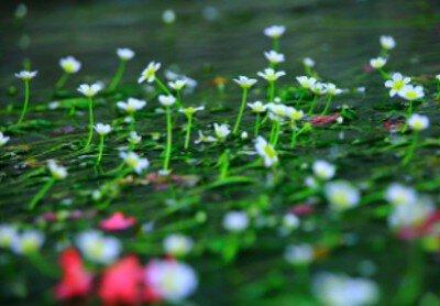 【花・見ごろ】地蔵川 梅花藻