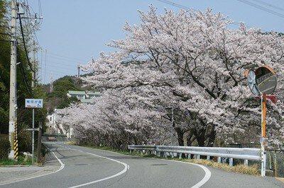 平荘湖の桜