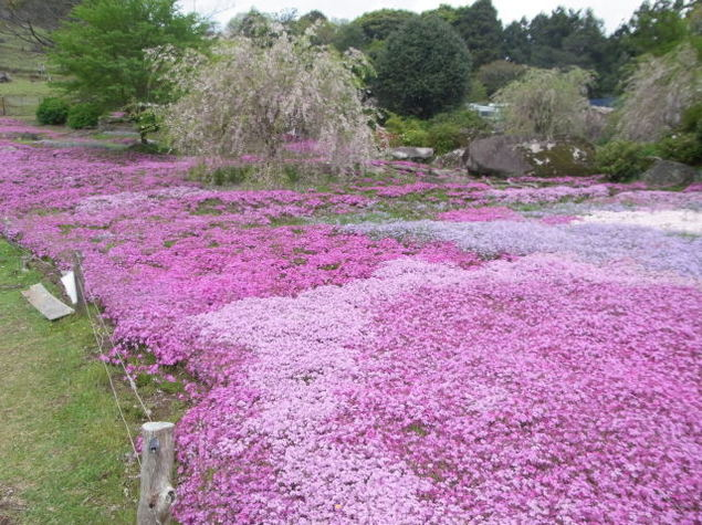 山本牧場しば桜まつり2019