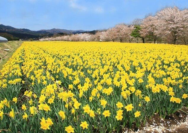 【花・見ごろ】岩井親水公園脇の水仙畑