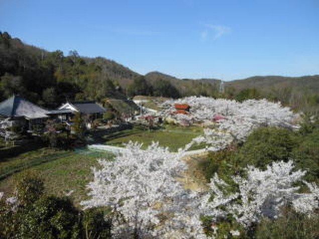 【桜・見ごろ】棲眞寺公園