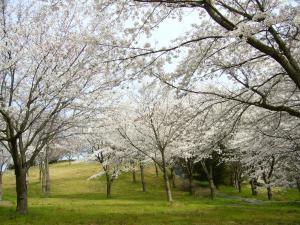 【桜・見ごろ】はままつフルーツパーク時之栖