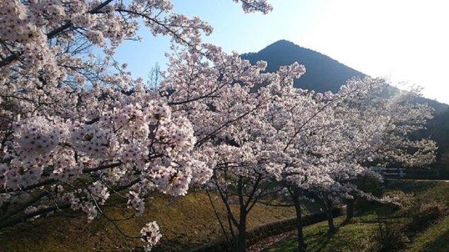 滋賀県立近江富士花緑公園の桜