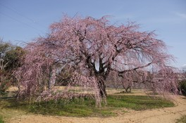 豊田市井上町一丁目のしだれ桜