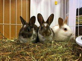 新しくまきば園にやってきたウサギ達。見学時間は10:00~15:30