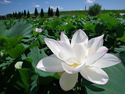 【花・見ごろ】千栗土居公園のハス