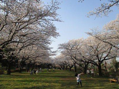 城山公園の桜(埼玉県)