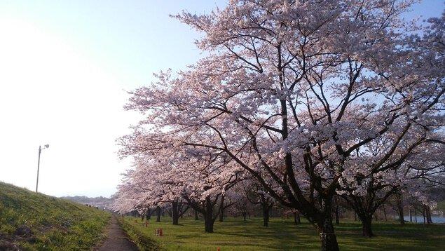 雫石川園地の桜