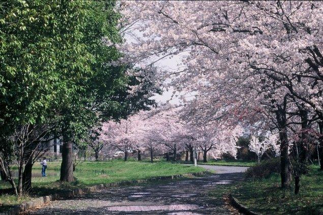 【桜・見ごろ】川中島古戦場史跡公園