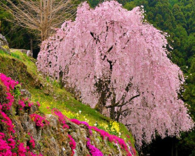 【桜・見ごろ】川井峠のしだれ桜