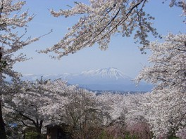 【臨時休園】紫波城山公園の桜