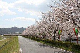 揖保川せせらぎ公園の桜