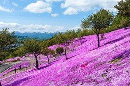 【臨時休園】芝ざくら滝上公園の桜