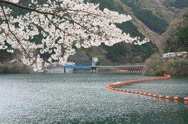 飯能市名栗湖の桜