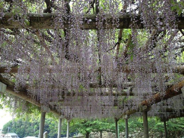 【花・見ごろ】松阪公園(松坂城跡)の藤