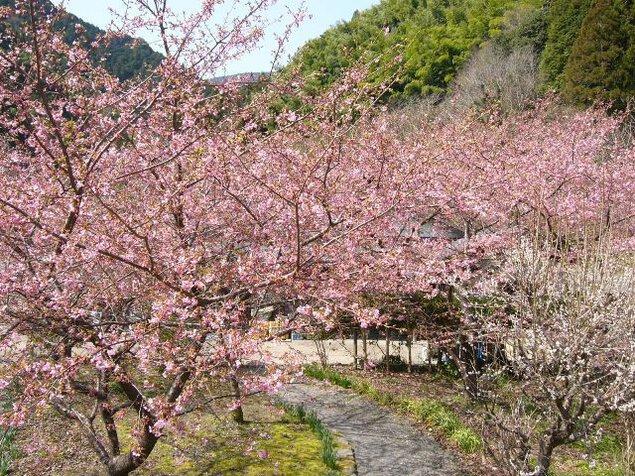 【桜・見ごろ】清水森林公園