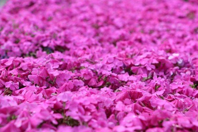 新屋敷芝桜まつり
