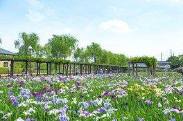 水郷潮来に初夏の訪れを告げるあやめの花々
