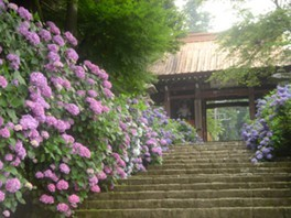 【あじさい・見ごろ】大雄山最乗寺(大雄山あじさい参道)