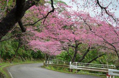 もとぶ八重岳一帯の桜